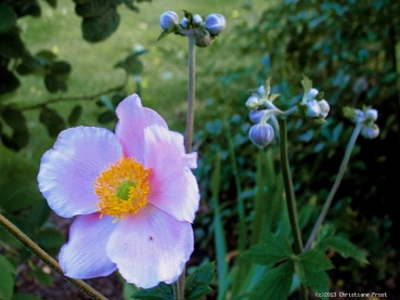 Anemone September Charme - rosa - Spätblüher - Co. 2 L