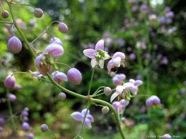 China-Wiesenraute - Thalictrum delavayi - Tb 9